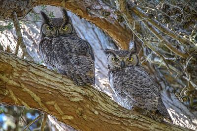 Great Honed Owl pair, Point Reyes National Seashore
