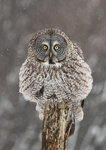 Great Gray Owl Puffed Up