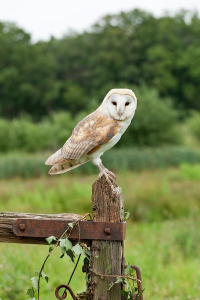 Barn Owl on Gate