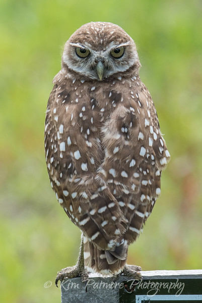Burrowing Owl with Furrowing Brow