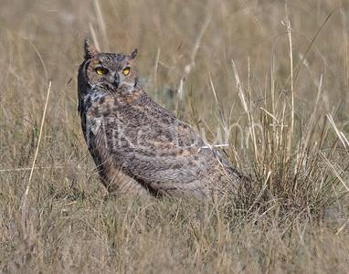 Great Horned Owl-24