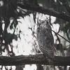 Great-Horned Owl Perched