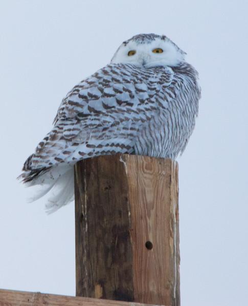 snowy owl   sm     58