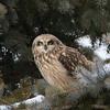 short earred owl                        9411