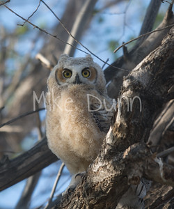 Great-Horned Owlet 18