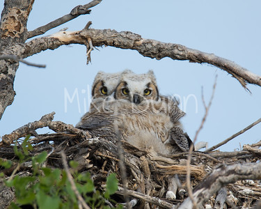 Great-Horned Owlet-5