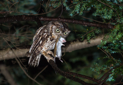 Eastern Screech Owl with Deer Mouse