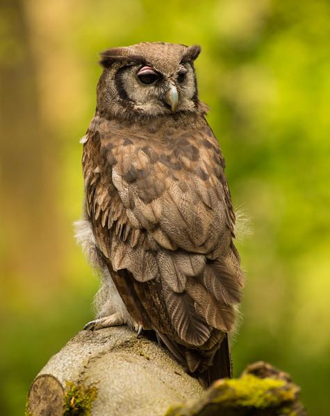 Verreaux's eagle-owl,  (Bubo lacteus)