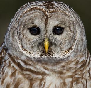 Barred Owl Portrait in Sunlight