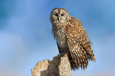 (OW6) Barred Owl