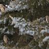 short earred owl                        8411 - Copy