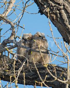 Great Horned Owlet-1