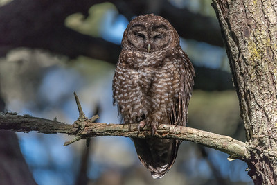 Northern Spotted Owl, Point Reyes Peninsula.