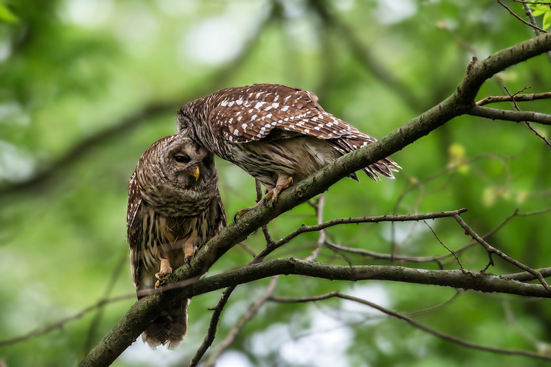 A pair of Barred Owls grooming each other