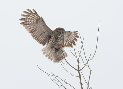 Great Gray Owl Moving to a Higher Vantage Point