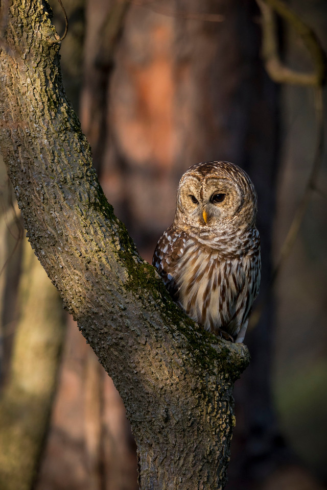 Barred owl hunting at sunrise