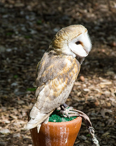 Barn Owl in Sanctuary