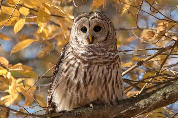 Barred Owl  - 1