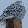 snowy owl   sm     32