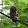 Early morning Eastern Screech Owl along a Marblehead walking path