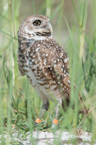 Burrowing Owl - Brown Eyed