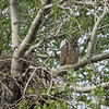 great horned owl daddy