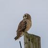 short eared owl            411a