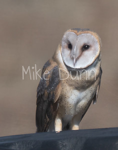 Barn Owl-3