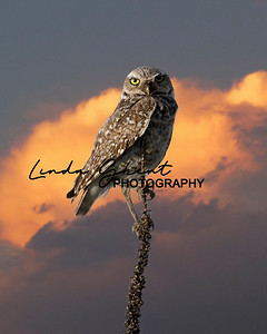 Colorado Burrowing Owl