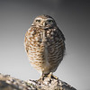 Little Burrowing Owl