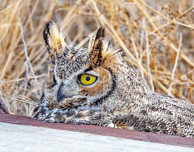 Great Horned Owl-27