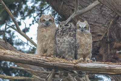Great Horned Owl with fledglings, Point Reyes National Seashore