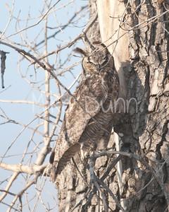 Great-Horned-Owl-16