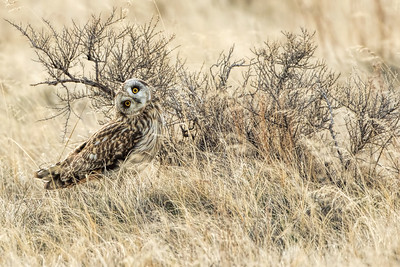 Curiosity-Short-eared Owl