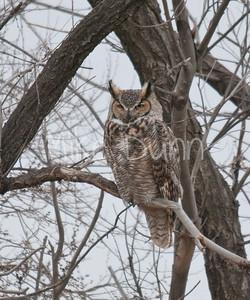 Great-Horned-Owl-14