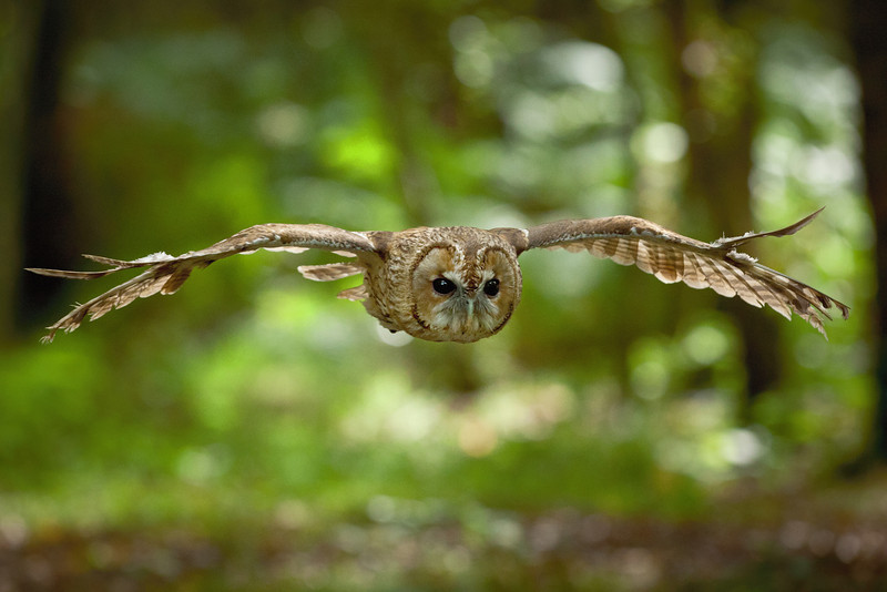 Tawny Owl Flying in the Woods