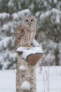 Barred Owl Over Frozen Marsh