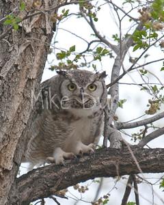 Great-Horned-Owl-19