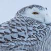 snowy owl   sm     46
