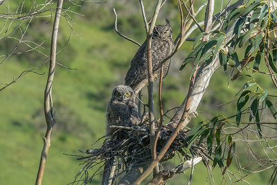 Nesting Great Horned Owl, Point Reyes National Seashore.