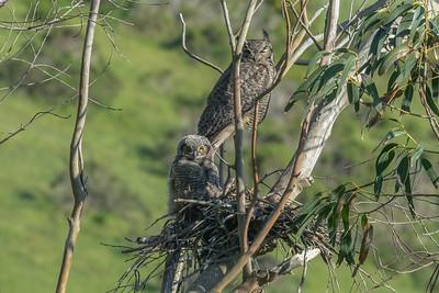 Nesting Great Horned Owl, Point Reyes National Seashore.