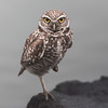 Burrowing Owl Death Stare