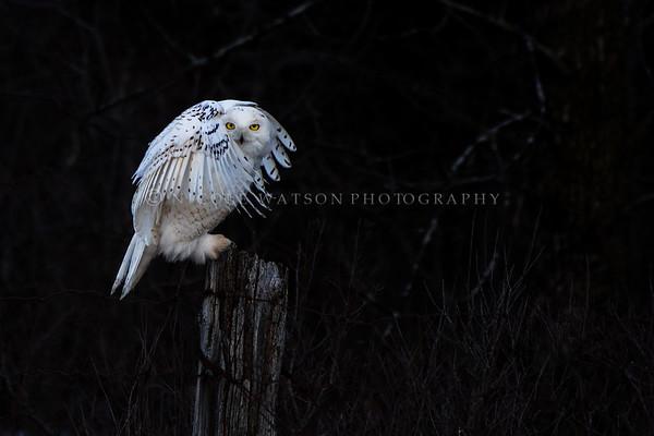 Snowy Owl Mystic!