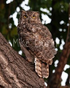 Great Horned Owl-30