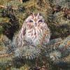 short earwed owl    sm    3