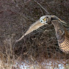 Great Horned Owl in Flight 3