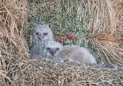 Great-Horned Owlet-16