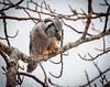 Northern Hawk Owl Feeding on Vole.