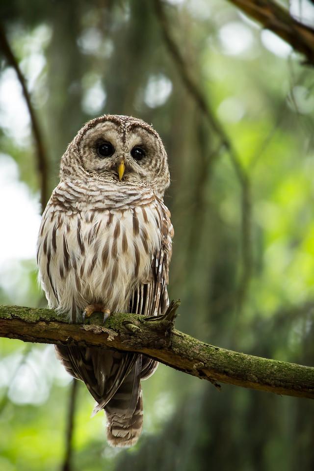Juvinile Barred Owl