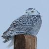 snowy owl  sm      41